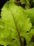 红色甜菜根植物,年轻 免版税库存图片