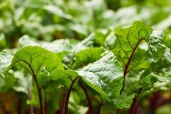 红色甜菜植物新鲜的叶子在床上的在雨以后 免版税库存图片