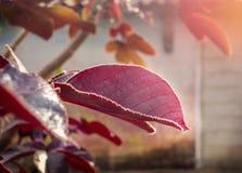 红色生叶并且发光 免版税库存照片