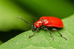 红色甲虫宏指令 免版税库存图片