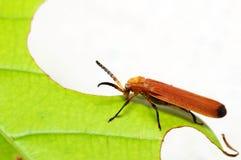 红色甲虫 免版税库存图片