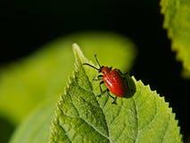 红色甲虫 免版税库存照片