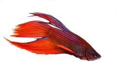 红色男性betta splendens暹罗战斗的水族馆鱼 库存照片