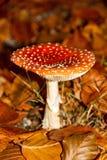 秋天棕色蛤蟆菌 图库摄影