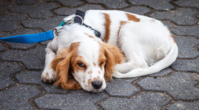 红色白色猎犬卷起与开放一只的眼睛 库存图片