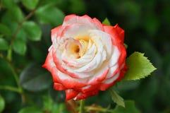 红色白色玫瑰花 库存图片