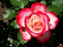 红色白色玫瑰 白色上升了与红色边界 一朵红色玫瑰的照片 免版税库存图片