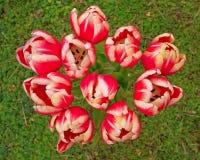 红色白色郁金香花束 库存图片