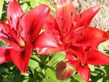 红色百合花关闭  花开花 在葡萄酒样式的花Garden.vector花卉背景 花宏指令 绿色叶子宏指令 库存照片
