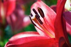 红色百合花背景 库存照片