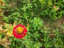 红色百日菊属在庭院里 免版税库存照片