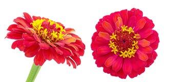 红色百日菊属在白色背景中 库存图片