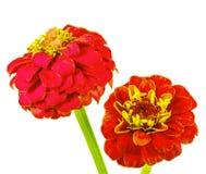 红色百日菊属在白色背景中 库存照片