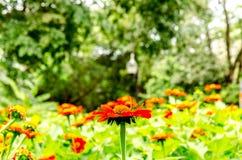 红色百日菊属花在庭院里 免版税图库摄影