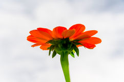 红色百日菊属花在庭院里 库存图片