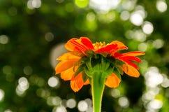 红色百日菊属花在庭院里 免版税库存图片