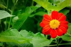 红色百日菊属花在庭院里 免版税库存照片