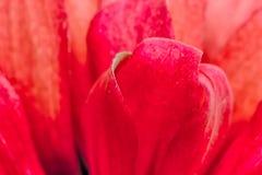红色百日菊属花背景 免版税库存图片