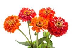 红色百日菊属花花束  库存照片