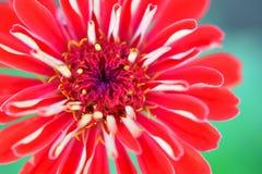 红色百日菊属花 库存图片