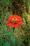 红色百日菊属 图库摄影