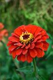 红色百日菊属 库存照片