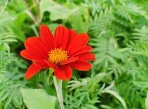红色百日菊属 免版税库存图片