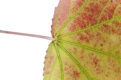 红色的一部分的秋天叶子和绿色隔绝在白色背景 免版税库存图片