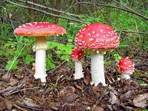 红色的伞菌 库存照片