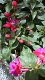 紫红色的刃岭'挺直Jollies南特' 免版税库存图片