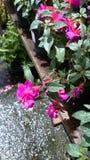紫红色的刃岭'挺直Jollies南特' 库存照片