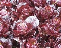 红色的圆白菜 免版税库存图片