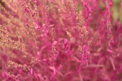 紫红色的地肤花 库存图片