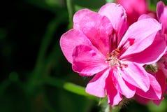紫红色的大竺葵 免版税库存照片