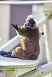 从红色的太阳崇拜ruffed狐猴Varecia rubra 免版税图库摄影