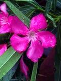 紫红色的夹竹桃 免版税库存照片