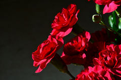 红色的康乃馨 库存照片