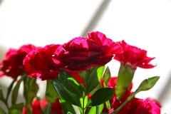 红色的康乃馨 免版税库存照片