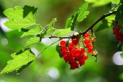 红色的无核小葡萄干 库存照片
