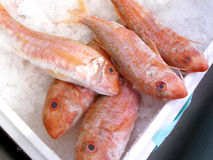 红色的梭鱼 免版税图库摄影