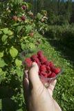 红色的浆果 免版税库存照片