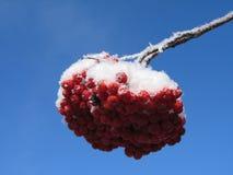 红色的浆果 库存图片