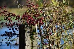 红色的浆果 免版税图库摄影