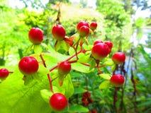 红色的浆果 免版税库存图片