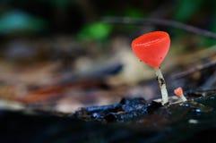 红色的盘菌 免版税库存图片