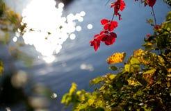 红色的秋叶 免版税图库摄影