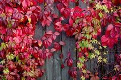 红色的秋叶 免版税库存图片