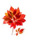 红色的秋天和在白色背景隔绝的黄色叶子 库存照片