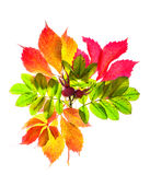 红色的秋天和在白色背景隔绝的黄色叶子 免版税库存照片