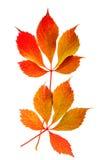 红色的秋天和在白色背景隔绝的黄色叶子 库存图片
